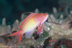 BD-130709-Maldives-9952-Pseudanthias-squamipinnis-(Peters.-1855)-[Sea-goldie].jpg